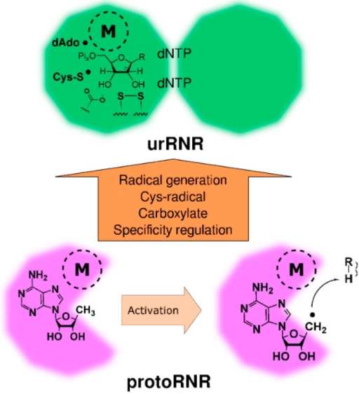 "Activation of the protoRNR by formation of a nucleosyl radical (bottom) and evolution of the protoRNR to the urRNR (top). The protoRNR is a general substrate activator—shown here with an R-H substrate—acting e.g., via H-atom abstraction like in RNR (Section 2.2). Some of the generality may have remained in the urRNR, but we have chosen to draw a nucleotide as substrate in the urRNR (key members of the H-atom transfer pathway are shown in radical form). The ""M"" in a dashed circle denotes the metal center of the protoRNR and urRNR, respectively. See main text and Table 1 for a description of the urRNR."