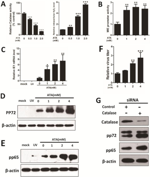 ATA-induced intracellular H2O2, enhancing viral replication in HFF cells. Treatment of HFF cells with the catalase inhibitor 3-amino-1,2,4-triazole (ATA) (0, 1, 2, 4 mM) for 24 h reduced catalase activity and increased intracellular H2O2 level in a dose-dependent manner (A). Cells were cultured with ATA for 24 h. ATA-induced intracellular H2O2 increased MIE promoter activity (B) and HCMV IE1 transcription (C). Cells were infected with UV-HCMV (UV) or HCMV at an MOI of 0.5. An increase in pp72 (D) and pp65 (E) protein levels were detected by Western blotting under 0, 1, 2, 4 mM ATA treatments for 72 h, and β-actin was used to calibrate sample loading. (F) Relative virus titers were measured using TCID50 assay within five days. (G) Catalase, HCMV lytic protein pp72, pp65 and β-actin levels were determined by Western blotting after treatment with siRNA for five days. * p < 0.05; ** p < 0.01 or *** p < 0.001 for ATA-treated versus untreated cells.