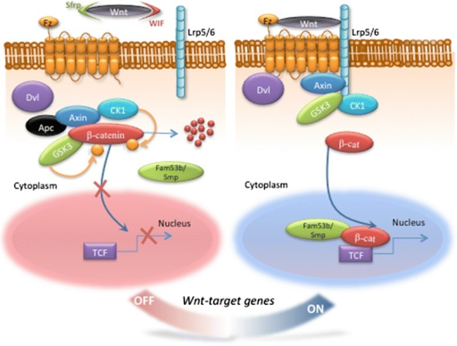 The Wnt/β-catenin signaling pathway. In the Wnt-off state, defined by the absence of an active Wnt ligand, β-catenin is phosphorylated by the destruction complex (formed from the two kinases Gsk3 and Ck1, the scaffolding protein Axin, and the tumor suppressor Apc) and degraded by the ubiquitin-proteasome pathway. In the Wnt-on state, active Wnt ligands interact with the Fz receptors and the Lrp5/6 coreceptor. Phosphorylation of Lrp5/6 by Gsk3 and Ck1 recruits Dvl and Axin to the receptor complex and hence inhibits the destruction complex. This, in turn, inhibits β-catenin phosphorylation and stabilizes β-catenin in the cytoplasm. β-catenin is then translocated into the nucleus, by a complex including Fam53b/Smp, and regulates target gene expression with the Tcf/Lef transcription factors. Many modulators including the inhibitors sFrps and Wif are known to tightly regulate the signaling cascade