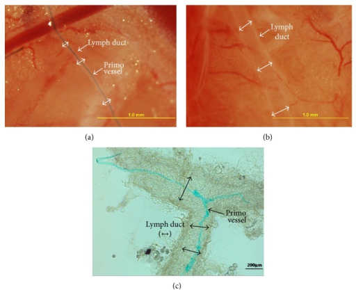 Comparison of stereomicroscopic images of the lymph ducts into which Alcian blue and Trypan blue had been injected. (a) A primo vessel emerged in a lymph duct (double arrows) after a two-hour washing of the injected Alcian blue. This image corresponds to Figure 1(e). (b) The lymph duct after a two-hour washing of the injected Trypan blue became clear again without any hint of the presence of the primo vessel. This showed that the L-PVS was selectively stained by the Alcian blue, not by the Trypan blue. (c) Contrast-enhanced microscope image of a branched lymph duct (double arrows) that was extracted and put on a slide. Connective tissues wrapped the lymph duct. The stained L-PVS also branched.