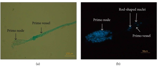 Images of a primo node extracted from the lymph duct. (a) A primo node stained by Alcian blue was extracted from a lymph vessel. One of the primo vessels connected to the node was cut off during the extraction process, and only one side was kept. The primo vessel was a bundle of two or more subvessels. (b) DAPI images of the same primo node as in (a), which contained many nuclei. Two rod-shaped nuclei (arrows) can be seen in the primo vessel.