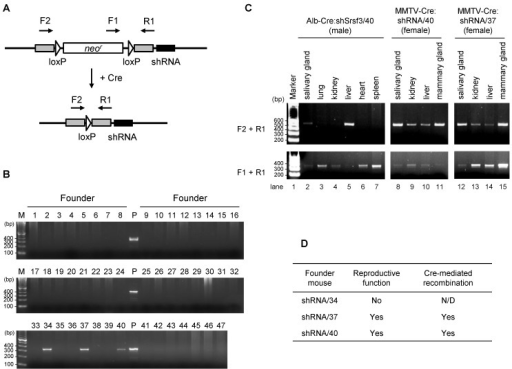 Identification of the founder mice for conditional Srsf3 shRNA expression and confirmation of the tissue-specific recombination. (A) Primers (F1, F2 and R1) used for the founder screening and Cre/loxP recombination. (B) PCR screening for 47 mice derived from oocytes with a pronuclear injection of linearized pMA-14. Mouse genomic DNAs from tail snips were analyzed by PCR with a primer set of F1 and R1. Three (#34, #37 and #40) out of 47 mice were identified as the founder mice, which we named as shRNA/34, shRNA/37 and shRNA/40. P, plasmid pMA14 positive control. (C) shRNA/37 and shRNA/40 were bred with Alb-Cre or MMTV-Cre mice, and the resulting Alb-Cre:shRNA/40 (male), MMTV-Cre:shRNA/40 (female), and MMTV-Cre:shRNA/37 (female) were analyzed for the Cre/loxP recombination in individual tissues at 2 months of age. PCR was performed for genomic DNAs extracted from individual tissues with primer sets of F2+R1 to detect a post-recombination form and F1+R1 to detect a pre-recombination form of pBS/U6-ploxPneo-derived pMA14 plasmid, respectively. (D) Summary of reproductive function and Cre-mediated recombination of the founder mice of shRNA/34, shRNA/37 and shRNA/40.