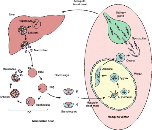 Plasmodium life cycle. After a mosquito bite, malaria parasites are deposited into the host's skin and within minutes are carried via the bloodstream into the liver, where through asexual proliferation within the hepatocytes tens of thousands of merozoites are produced. Following hepatocyte rupture, merozoites are released into the bloodstream where they can invade the host's red blood cells (RBC), leading to the initiation of the intra-erythrocytic development cycle (IDC). During the IDC (lasting about 48–72 h in human and about 24 h in rodent malaria parasites), Plasmodium parasites multiply asexually through the completion of several morphologically distinct stages within the RBCs. After RBC invasion, malaria parasites develop via the ring and trophozoite stage into schizonts, each containing a species-specific number of merozoites (typically 10–30). Upon schizont rupture, merozoites are released into the bloodstream, where they can invade new RBCs and initiate a new IDC. However, a small fraction of ring-stage parasites sporadically differentiate into male or female gametocytes, which are responsible for initiating transmission back to the mosquito. Through another mosquito blood meal gametocytes are taken up into the mosquito midgut where they are activated and form male (eight per gametocyte) and female (one) gametes. Following fertilization, the zygote undergoes meiosis (and therefore true sexual recombination) and develops into a motile, tetraploid ookinete that traverses the midgut and forms an oocyst. Via another round of asexual proliferation inside the oocyst several thousands of new haploid sporozoites are generated that, upon their release, colonize the mosquito salivary glands, poised to initiate a new infection of another mammalian host