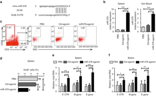 miR-378 overexpression in mice using an miR-378 agomir inhibits GrzB expression and promotes DENV replication. Mice were injected intraperitoneally with an miR-378 agomir (5 ng), Ctrl-agomir (5 ng) or an equal volume of PBS on days 0, 3, and 6. Mice were inoculated with the DENV-2 ZS01/01 strain (106 pfu/mouse) after the third treatment. Brains, spleens, and peripheral blood of mice were obtained for analyses of miR-378 expression and viral RNA levels at 24 h post-infection using qPCR. (a) Prediction of the binding sites between the mmu-miR-378 seed sequence and mmu-GrzB mRNA sequence by miRBase and TargetScanMouse. Numbers indicate the position of nucleotides of mouse GrzB mRNA 3′-UTR that are targeted by miR-378. (b) The pooled data show that miR-378 expression in spleens and peripheral blood in mice treated with miR-378 agomir are significantly higher than mice treated with the Ctrl-agomir or PBS. (c) Represented flow-cytometric plots show the percentages of GrzB+ of NK (CD3−CD56+) cells in spleens of mice treated with the miR-378 agomir, Ctrl-agomir or PBS. (d) Pooled data show that the percentages of GrzB+ of NK cells in spleens are significantly decreased in mice treated with the miR-378 agomir compared to mice treated with Ctrl-agomir or PBS. DENV2 RNA levels in spleens (e) and brains (f) of mice treated with miR-378 agomir via detection of viral M and E genes and the 5′-UTR sequence are significantly higher than mice treated with Ctrl-agomir or PBS. Representative data are at least three independent experiments with four to six mice per group (mean ± SD; independent samples t-test, *p < 0.05, **p < 0.01, ***p < 0.001).