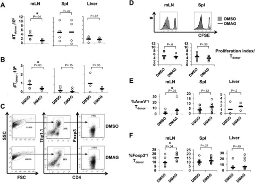 Application of DMAG preferentially impairs expansion of conventional donor CD4+ T versus Treg cells in vivo. Donor CD4+ T cells were transplanted and mice were treated as in Figure 1. Circles represent individual animals and the horizontal bars the mean values per group. (A, B) Absolute numbers of donor CD4+ T cells in mesenteric lymph nodes (mLN, n = 4‐5), spleen (Spl, n = 4–5) and liver (n = 3‐4) seven days after transplantation of 5 × 105 (A) or 5 × 104 (B) donor CD4+ T cells (one‐tailed Mann–Whitney test). (C) Gating strategy for flow cytometric analysis of CD4+Foxp3+ T cells among all donor CD4+ T cells in mLN of mice treated either with DMSO (top) or DMAG (bottom). First live cells were gated based on forward and side scatter. The live gate is further analyzed for cell surface expression of Thy1.1 and CD4, taking only the Thy1.1+CD4+ (donor T cells). Intracellular Foxp3+CD4+ is then determined from this gated population. (D) Representative CFSE dye dilution three days after transplantation among CFSE‐labeled CD4+ T cells recovered from mLN (left) or Spl (right) of mice treated either with DMAG (solid line) or DMSO (grey background). Bottom: Summary of the proliferation indices among donor CD4+ T cells isolated from mLN (n = 6) or Spl (n = 5) (two‐tailed unpaired student's t‐test). (E) Percentages of AnnexinV+ (AnnV+) cells among donor CD4+ T cells in mLN (n = 11), Spl (n = 11), and liver (n = 3) three or seven days after transplantation (one‐tailed unpaired student's t‐test). (F) Percentages of CD4+ Foxp3+ Tregs among donor cells in mLN (n = 9), Spl (n = 8–9) and liver (n = 5–7) seven days after transplantation (two‐tailed unpaired student's t‐test). (E) and (F): Pooled data from recipients of either 5 × 105 or 5 × 104 donor CD4+ T cells. *P < .05.