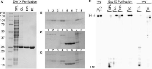 Chromatographic separation of 3′-5′ exodeoxyribonuclease activity associated with preparations of Exonuclease IX. (A) SDS–PAGE analysis of the purification of ExoIX from cell lysate of induced BL21 (pJONEX/xni, pcI857). SPL, cleared cell lysate applied to SP/first Heparin column (28 µg); QL, Q load (6 µg); H2L, second Heparin column load (5 µg); IX, concentrated ExoIX eluate from second Heparin (7.5 µg). (B–D). Eluted fractions from first Heparin column were separated by SDS–PAGE. (B) Ethidium bromide stained substrate gel. High molecular weight DNA cast in the gel fluoresces with UV, while regions of DNA degradation appear as darker bands. Early fractions (lanes 1–4), contain detectable exonuclease activity. (C) The same gel counter-stained with Coomassie G250. Over-expressed ExoIX is eluted in later fractions (lanes 5 and 6). (D) Superimposition of images in panels B and C, demonstrating that exonuclease activity can be resolved from ExoIX. A fraction represented in lane 4 was used for subsequent enrichment and identification of the co-purifying nuclease. Lanes, 1–6, heparin fractions (2.5 µl); 7, loading sample (5 µl); 8, flow through (5 µl). (E) Highly purified ExoIX lacks activity on a single-stranded DNA substrate (34-mer). Protein samples taken during the purification of ExoIX were incubated with 15 fmol 32P-labelled 34-mer at 37°C for 10 min in the presence of 10 mM MgCl2 and the reaction products separated by denaturing PAGE. Reactions (10 µl) contained varying amounts of protein. SPL, 0.7 and 0.07 µg of protein from cell-free extract of induced cells expressing ExoIX; QL, 0.1 and 0.01 µg of protein loaded on to first anion exchange column; H2L, 3 and 0.3 µg of protein from sample loaded onto second heparin column; IX, contains samples from final purified fraction of ExoIX eluted from second heparin column, 5 and 0.5 µg; two positive controls are also shown, bacteriophage T5 D15 exonuclease (T5), 0.1 and 0.01 µg and exonuclease III (III), 0.03 and 0.003 µg.