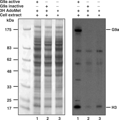 Multiple substrate specificity of recombinant G9a. HCT116 cell extracts were incubated with recombinant G9a, heat killed G9a and tritiated AdoMet as indicated with a plus symbol. The radiolabeled protein mixture was separated on denaturing PAGE, stained and fluorographed. The Coomassie-stained gel is shown at the left panel and the radioactive proteins are seen as specific dark bands at the right panel. The apparent position of G9a and H3 are shown at the right. The molecular weight markers are on the left.