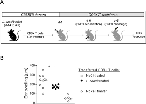 CD8+ T cells from L. casei-treated mice generate a weak CHS in CD3ε°/° recipients.(A) Naïve C57Bl/6 were treated daily for 2 weeks with either L. casei or NaCl 0.9%. On Day -1, pooled CD8+ T cells (10.106) from pLN, mLN and spleens from each group of mice were transferred i.v. to naive CD3ε°/° recipient mice. On day 0 all CD3ε°/° recipients were DNFB sensitized and ear challenged with DNFB on Day 5. (B) Ear swelling at 48 h after DNFB-challenge was determined in CD3ε°/° recipients transferred with CD8+ T cells from either L. casei-treated (black circle) or NaCl-treated (white circle) C57Bl/6 donors as well as in untransferred control CD3ε°/° mice (white losange).