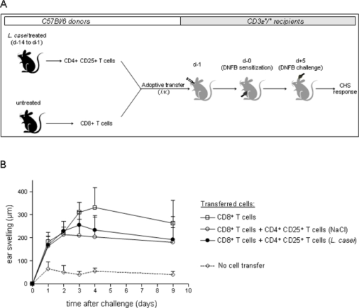 In vivo suppressive function of CD4+CD25+ Tregs from L. casei-treated mice.(A) Naïve C57Bl/6 were treated daily from d-14 to d-1 with either L. casei or NaCl. On d-1, CD4+ CD25+ T cells were purified from pooled pLN, mLN and spleens of each group of mice and transferred i.v together with naive purified CD8+ T cells into naive CD3ε°/° recipients. On day 0, untransferred and transferred CD3ε°/° recipients were DNFB-sensitized and challenged 5 days later with DNFB, as described in Fig 1 legend. (B) Ear swelling was determined at various time after challenge in CD3ε°/° that were either untransferred (dotted lines) or transferred with CD8+ T cells alone (white squares), or with CD8+ T cells together with CD4+CD25+ T cells from L. casei- treated (black circle) or NaCl-treated (empty circles) donors.