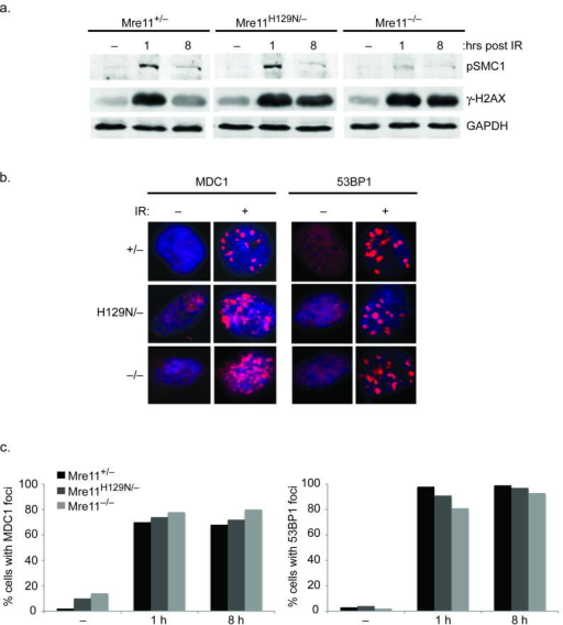 Independence Of γ-H2AX-MDC1-53BP1 And MRN(a) Distinct