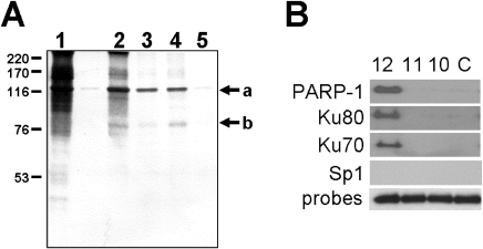 Identification of proteins that bind to the (CA)12 oligonucleotide sequence in vitro.A. One mg of Dami nuclear extract protein was incubated with one of four biotinylated (CA)12 oligonucleotide probes in binding buffer. Oligonucleotide/protein complexes were adsorbed to streptavidin-agarose beads, and the bound proteins were eluted, separated by SDS-PAGE and visualized using silver stain. The following protein samples are depicted: (lane1) Starting nuclear extract; (lane 2) Proteins bound to CA12 in the absence of calf thymus DNA; (lane 3) Proteins bound to CA12 in the presence of calf thymus DNA; (lane 4); Proteins bound to CA12 in the presence of calf thymus DNA+ 5-fold molar excess of control oligonucleotide; and (lane 5) Proteins bound to control oligonucleotide in the presence of calf thymus DNA. The two prominent protein bands with MWApp of 120 kDa and 80 kDa (positions indicated by arrows a and b, respectively, to the right of the panel) were excised and processed by MS/MS. Peptides recovered and sequenced by MS/MS are depicted in Figure S1. The positions held by molecular weight standards (Amersham Biosciences, Pittsburgh, PA) are indicated to the left of the panel. B. Dami nuclear extract proteins were incubated in vitro with the biotin-conjugated oligonucleotide probes: CA12, CA11, CA10 or control oligonucleotide (C). The resultant oligonucleotide/protein complexes were pulled down with streptavidin agarose. Nuclear proteins present in the complexes were separated by SDS-PAGE and identified by western blotting using the specific antibodies indicated to the left of the figure. The presence of PARP-1, Ku80 and Ku70 was confirmed in this manner. Antibodies specific for Sp1 served as a negative control, since the oligonucleotides used in these assays does not contain the Sp1 binding site. To confirm comparable oligonucleotide loading, the same samples were electrophoresed in a 2% agarose gel and stained with ethidium bromide (probes; negative image).