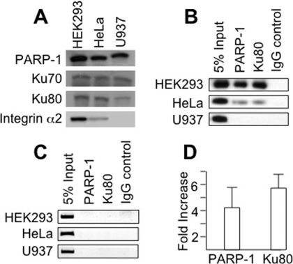 Chromatin Immunoprecipitation (ChIP).A. Confirmation of protein composition by Western Blot. The presence of (top row to bottom row) PARP-1, Ku70, Ku80, and integrin α2 in HEK293 cells, which express the ITGA2 (CA)12 allele, HeLa cells, which express the ITGA2 (CA)11 allele, or U937 cells, which do not express ITGA2, was confirmed by western blotting. The relative content of each protein in these three cell lines was comparable, except for the integrin α2, which is expressed at reduced levels in HeLa cells, and is absent in U937 cells. B. ChIP assays were performed using HEK293 cells (top row), HeLa cells (center row) and the control cell line U937 (bottom row). U937 bears the ITGA2 (CA)12 allele, but does not express any detectable ITGA2 mRNA, as determined by PCR (data not shown). Chromatin was sheared by sonication, and protein-DNA complexes were immunoprecipitated with antibodies against the PARP-1 or Ku80. The leftmost column represents 5% of total cross-linked chromatin before immunoprecipitation (5% input). Non-immune goat IgG served as a negative control (IgG control.). DNA retrieved after washing was amplified with primers specific for the test sequence encompassing the ITGA2 CA repeat region (beginning at nucleotide −708 and ending at nucleotide −552). Data from one experiment representative of three independent experiments are depicted. C. ChIP assays were performed exactly as in B, except that primers specific for a 3′-UTR negative control sequence were utilized. D. Semi-quantitation of PARP-1 and Ku80 bound to CA repeat sequences in vivo. The results of three ChIP assays such as that depicted in Figure 4B were analyzed semi-quantitatively. The relative binding of PARP-1 or Ku80 to the HEK 293 CA12 compared to HeLa CA11 sites is plotted on the ordinate as the fold-increase in density (HEK293/HeLa) of the photographic images corresponding to the amplified DNA sequences. Image densities were calculated using ImageJ software.