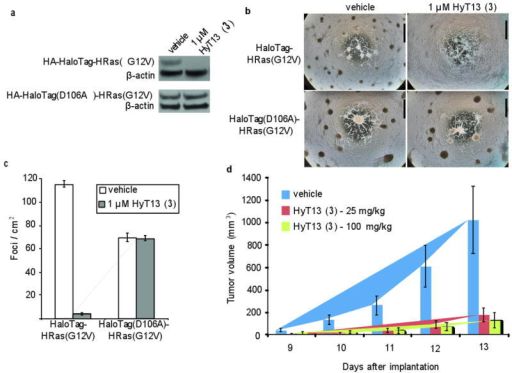 Functional validation of HaloTag degradation by HyT13(a) NIH-3T3 cells were retrovirally infected with a construct expressing either HA-HaloTag-HRas(G12V) or HA-HaloTag(D106A)-HRas(G12V). The cells were then treated with vehicle or 1 μM HyT13 for 24 hours. The lysates were prepared for immunoblotting and the blots were probed with anti-HA and anti-β-actin antibodies. Full gels are available in Supplementary Results. (b) One hundred thousand NIH-3T3 cells infected with HA-HaloTag-HRas(G12V) or HA-HaloTag(D106A)-HRas(G12V) were plated in 10% FBS containing medium onto 10-cm plates. The next day, the medium was replaced with 1% FBS containing medium, along with vehicle or 1 μM HyT13. The media was refreshed every 2 days, and the plates were pictured on day 6. Bar, 5 mm. (c) Quantification of foci as described in (b). The number of foci/cm2 was counted from three separate plates, with error bars representing SEM. (d) One hundred thousand HA-HaloTag-HRasG12V-expressing NIH-3T3 cells were injected into the flank of nude mice on day 0. The mice were administered IP injections of vehicle or HyT13 daily from day 0. Tumor size was measured daily, and the tumor volume was calculated. Each treatment group employed 7 mice. Error bars represent SEM.