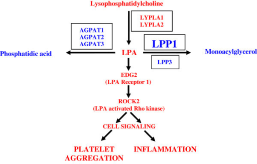 Interaction of genes involved in lysophospholipid metabolism. The novel finding is that skeletal muscle tissue expresses the genes regulating these pathways. The enzymes are in boxes and each is known to catalyze the reaction in the figure. The new data demonstrates that skeletal muscle tissue expresses a key LPA receptor (EDG2), and expresses a Rho kinase (ROCK2) well-known to be activated by LPA. In addition to platelet aggregation, ROCK2 has been associated with inflammation. The red pathway indicates a pathway to inflammation and the blue pathways would lead to an attenuation of LPA effects. Of these genes, only LPP1 is affected by physical inactivity. Abbreviations: LPC, lysophosphatidylcholine; LPA, lysophosphatidic acid; AGPAT, 1-acylglycerol-3-phosphate acyltransferase; EDG2, endothelial differentiation gene 2; LPP, lipid phosphate phosphatase; LYPLA, lysophospholipase; ROCK2, Rho-associated, coiled-coil containing protein kinase 2.