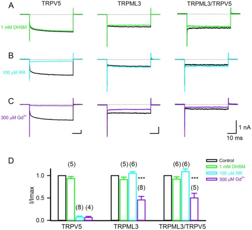 Pharmacological properties of HEK293 cells expressing TRPV5, TRPML3, and both proteins.(A–C) Representative traces shown from transfected HEK293 cells expressing TRPV5, TRPML3, and TRPV5/TRPML3 in response to step polarization (from 0 mV to –150 mV) before (black lines) and after 1 mM dihydrostreptomycin (DHSM) (green lines), 100 µM Ruthenium Red (RR) (cyan lines) and 300 µM gadolinium chloride (Gd3+) (purple lines). (D) Quantitative analysis of the percentage of inhibition at −150 mV (mean±SD, n = 4–8).
