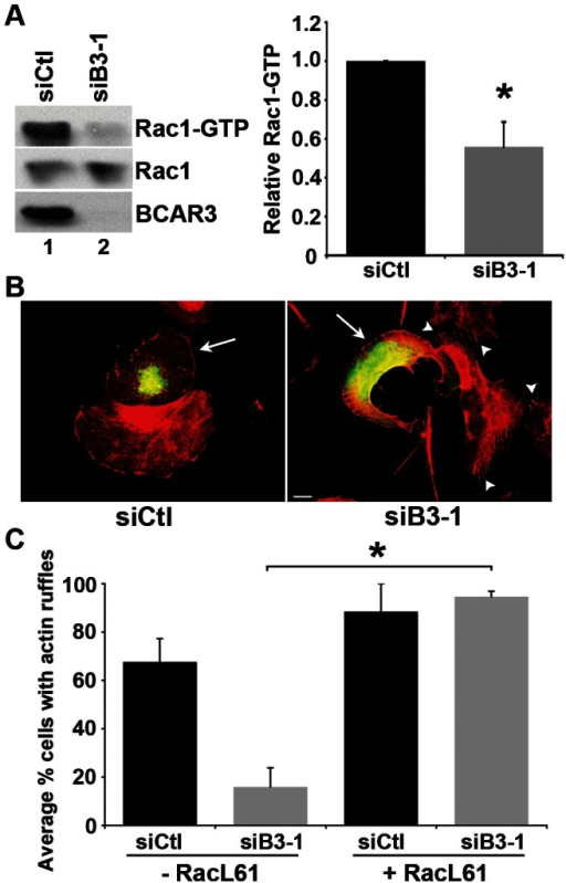 BCAR3 promotes Rac1 activity.(A) BT549 cells transfected with siCtl (lane 1) or siB3-1 (lane 2) siRNA oligonucleotides were incubated for 72 hours, held in suspension for 90 minutes, then plated on 10 µg/ml fibronectin for 1 hour. GTP-bound Rac1 was isolated from whole cell lysates by incubation with PAK-1-binding domain agarose. Bound proteins (top panel) and total Rac1 (middle panel) were detected by immunoblotting with a Rac1 antibody, and BCAR3 knockdown was confirmed with a BCAR3-specific antibody (bottom panel). Quantification of the relative GTP-Rac1 level is shown. Data represent the mean ± SEM of 3 independent experiments (*, p<0.05). (B) BT549 cells were transfected with siCtl or siB3-1 oligonucleotides, incubated for 24 hours, followed by transfection with plasmids encoding Myc-RacL61 for an additional 48 hours. Cells were plated onto 10 µg/ml fibronectin-coated coverslips for 1–3 hours and processed for immunofluorescence as described in the methods. Actin is stained with Texas red-conjugated phalloidin (red) and Myc (RacL61) with fluorescein isothiocyanate (FITC) (green). Arrows indicate Myc-RacL61 expressing cells. Arrowheads indicate actin-rich stress fibers. The images shown are representative of 6 separate experiments. Scale bar = 15 µm. (C) The percentage of cells exhibiting actin-rich ruffles was determined for non-transfected and RacL61-expressing cells. Data represent the mean ± SEM of at least 36 cells per condition over to 2 separate experiments (*, p<0.05).
