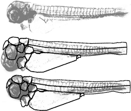 Registration procedure. Top: Reference fish with 1 day after injection of cancer cells. Middle: Fish to be registered. Bottom: Registered fish. For illustration purposes, the images are presented with inverted grayscale values.