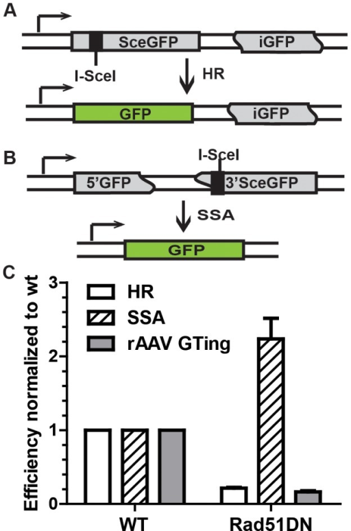 rAAV gene targeting efficiency correlates with HR, and not single strand annealing, activity.(A) The HR assay. SceGFP is a full-length GFP gene disrupted by an I-SceI site. HR between SceGFP and the internal GFP (iGFP) fragment on the same plasmid upon I-SceI digestion restores GFP activity. (B) The single strand annealing assay. 5′GFP and 3′SceGFP are GFP fragments bearing 266 bp of homology. Single strand annealing repair of the I-SceI-induced DSB generates a functional GFP gene. (C) The efficiency of HR, single strand annealing and rAAV gene targeting. The indicated cell lines were analyzed using the HR and single strand annealing assays as well as for rAAV gene targeting. The mean ± SEM of three independent experiments is shown.