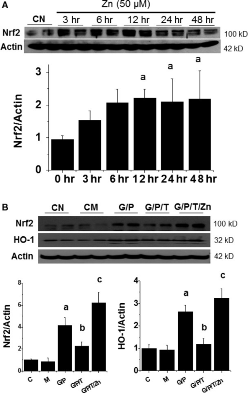 Zn is required for Nrf2 expression and function. HK11 cells were treated by Zn at 50 μM for indicated times and then Nrf2 expression was examined by Western blotting assays (A). HK11 cells were treated by HG (G, 27.5 mM) for 48 hrs, Pal (P, 300 μM) for the last 6 hrs and TPEN (T, 8 μM) with or without Zn (50 μM) for the last 30 hrs, and then subject to Western blotting for Nrf2 expression and its downstream gene HO-1 expression (B). Experiments were repeated at least three times and the data are presented as the mean ± SD. a, P < 0.05 versus CN or CM group; b, P < 0.05 versus G/P group; c, P < 0.05 versus G/P/T group. CN: control; CM: hyperosmotic control; G: HG; P: Pal; T: TPEN.