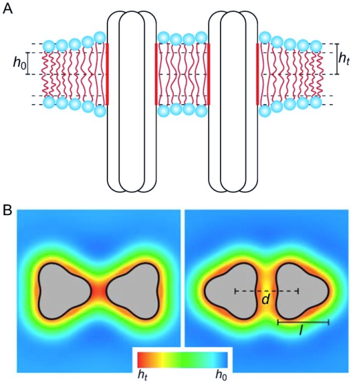 Schematic of membrane-mediated interactions between chemoreceptor trimers.(A) If the hydrophobic thickness of the unperturbed lipid monolayer, , does not match the hydrophobic thickness of chemoreceptor trimers, , the lipid bilayer locally deforms in the vicinity of chemoreceptor trimers, yielding membrane-mediated interactions between trimers. (B) The three-fold symmetry of chemoreceptor trimers induces directionality of membrane-mediated interactions between trimers. The trimer configurations in the left and right panels correspond to tip-on and face-on orientations, respectively, with thickness deformations of the bilayer membrane in the vicinity of trimers illustrated by density maps (see S2 Figure for a three-dimensional illustration of thickness deformations). We denote by  the center-to-center distance between trimers. In our calculations, we used chemoreceptor trimers of the indicated perturbed cylindrical shape with width  nm.