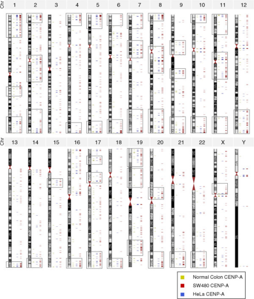 Genome-wide distribution of ectopic CENP-A hotspots across human chromosomes. Ectopic CENP-A clusters (gray boxes) at pericentromeric and subtelomeric regions of most human chromosomes in SW480, but not in HeLa or normal colon cells.