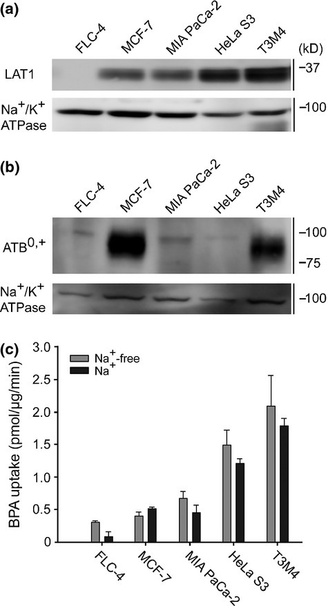 Transporter expression and p-boronophenylalanine (BPA) uptake in cancer cell lines. (a) Expression level of LAT1 was analyzed by western blotting using crude membrane fraction. The cell lines were ordered in increasing LAT1 amounts. Na+/K+ ATPase was used as loading control. (b) Similarly, the expression of ATB0,+ was analyzed. ATB0,+ was expressed in MCF-7 cells, to a lesser degree in T3M4 cells, and not detected in the other cell lines. (c) Uptake of BPA in cell lines was measured for 5 min in the presence or absence of Na+. The presence of Na+ did not significantly affect the BPA uptakes in the cell lines. A representative result was shown with the mean ± SEM (n = 4).