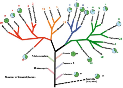 Phylogenetic tree showing the broad phylogenetic distribution of insect transcriptomes. Tree modified after Bugwood (http://wiki.bugwood.org/Main_Page). The number of transcriptomes for each insect order was compiled from the literature. Each order with transcriptomes generated independent of 1KITE (http://www.1kite.org) and surveyed as part of our literature search (key words: 'transcriptome', 'RNA-Seq', 'microarray', or '454'; November 2013) has a pie graph associated with it. The green (dark) section of the graph represents the number of species with transcriptomes generated for that order by 1KITE (http://www.1kite.org/downloads/1KITE_species.txt; November 2013). The blue (light) section represents the number of taxa with transcriptional studies done independently of the 1KITE initiative. The number in small font indicates the number of taxa slated for study by the 1KITE initiative. The number in large font represents the number of 1KITE species examined or slated for examination in a given order, where no studies independent of 1KITE have been done.