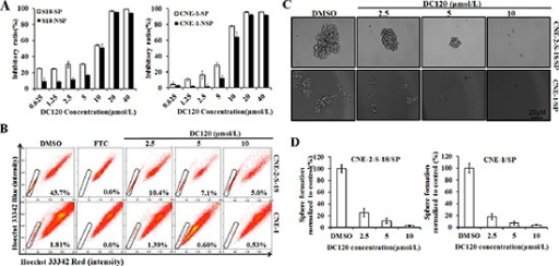 Inhibitory effect of DC120 on cancer stem-like SP cells(A) Freshly sorted SP and NSP cells of CNE-2-S-18 and CNE-1 cells were treated with increasing concentrations of DC120 for 48 hours. The antiproliferative effect of DC120 was measured by MTT assay. (B) Cells were treated with DC120 (2.5–10 μmol/L) for 24 hours, then labeled with Hoechst 33342 dye and analyzed by flow cytometry. A set of representative flow cytometry dot plots is shown. (C–D) Sorted SP cells were cultured in nasosphere-forming conditions and incubated with DC120 (2.5–10 μmol/L) or DMSO for 7 days. The size of the nasospheres was estimated using V = (4/3) πR3. Magnification, 100 ×. Columns, mean (n = 3); bars, SD.