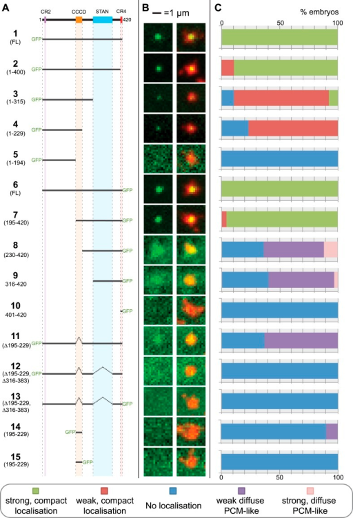 A structure/function analysis of Drosophila Ana2.(A) A schematic representation of Drosophila Ana2 highlighting the conserved domains and illustrating the GFP constructs analysed in this study. In vitro transcribed mRNA encoding each of these constructs was injected into Drosophila embryos expressing the PCM marker, RFP-Cnn; the distribution of each fusion protein was analysed in living embryos. (B) Micrographs show examples of typical centrosomes in embryos injected with the Ana2 constructs shown in (A). The localisation of the GFP-fusion protein (green) is shown on its own (left panel) and merged with RFP-Cnn (right panel). (C) Bars quantify the localisation behaviour of the various GFP-fusions. Images of 30–80 embryos were analysed for each construct. Images of each embryo were collected and then manually sorted into various categories based on the centrosomal localisation of the GFP-fusion construct (see colour table at bottom of figure). All sorting was performed blind.DOI:http://dx.doi.org/10.7554/eLife.07236.003