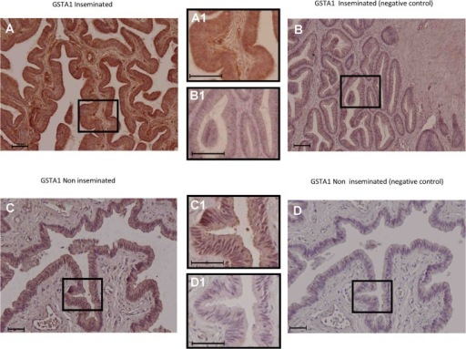 Immunohistochemical localization of GSTA1 in the porcine oviduct.GSTA1 protein expression extended from the epithelial cells to deeper layers of the oviductal wall in the inseminated sows (Fig 6A, magnified in 6A1) compared with the non-inseminated animals, where labelling was mainly observed at the epithelial level (Fig 6C, magnified in 6C1). The corresponding negative controls are shown in Fig 6B, magnified in 6B1 for the inseminated animals and in Fig 6D, magnified in 6D1, for the non-inseminated sow. In all figures, scale bars correspond to 100 μm.