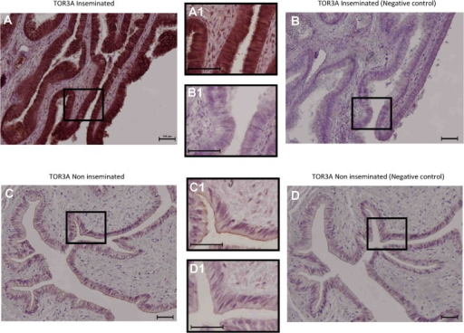 Immunohistochemical localization of TOR3A in the porcine oviduct.Strong immunostaining for TOR3A protein was only observed in the oviductal wall of the inseminated sows (Fig 7A, magnified in 7A1). The labelling was absent in non-inseminated animals (Fig 7C magnified in 7C1) as well as in the corresponding negative controls for the inseminated (Fig 7B, magnified in 7B1) and non-inseminated sows (Fig 7D, magnified in 7D1). In all figures, scale bars correspond to 100 μm.