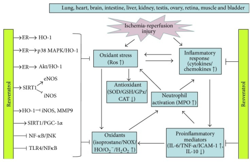 The mechanisms and pathways of resveratrol in oxidative stress-mediated ischemia-reperfusion injury. The protective benefits of resveratrol involved are its scavenging, antioxidant, and anti-inflammatory effect and the signaling mechanisms mediated may be via a variety of intracellular signaling pathways, including upregulation of ER-related MAPK/HO-1 and Sirt1/PGC-1α pathway and inhibition of the TLR4 and NF-κB dependent pathway. ROS, reactive oxygen species; ER, estrogen receptor; HO-1, hemeoxygenase 1; SIRT1, sirtuin 1; eNOS, endothelial nitric oxide synthase; iNOS, inducible nitric oxide synthase; TLR4, Toll-like receptor 4; PGC-1α, peroxisome proliferator-activated receptor-gamma coactivator 1 alpha; NF-κB, nuclear factor-kappa B; JNK, c-Jun N-terminal kinase; p38 MAPK, p38 mitogen-activated protein kinase; MMP-9, metallopeptidase 9; SOD, superoxide dismutase; CAT, catalase; GSH, glutathione; GSH-Px, glutathione peroxidase (GSH-Px); NOX, NADPH oxidase; XO, xanthine oxidase; O2−, superoxide anions; HO−, hydroxyl free radicals; H2O2, hydrogen peroxide; TNF-α, tumor necrosis factor-alpha; IL-6, interleukin 6; IL-10, interleukin 10; ICAM-1, intercellular adhesion molecule 1; MPO, myeloperoxidase.