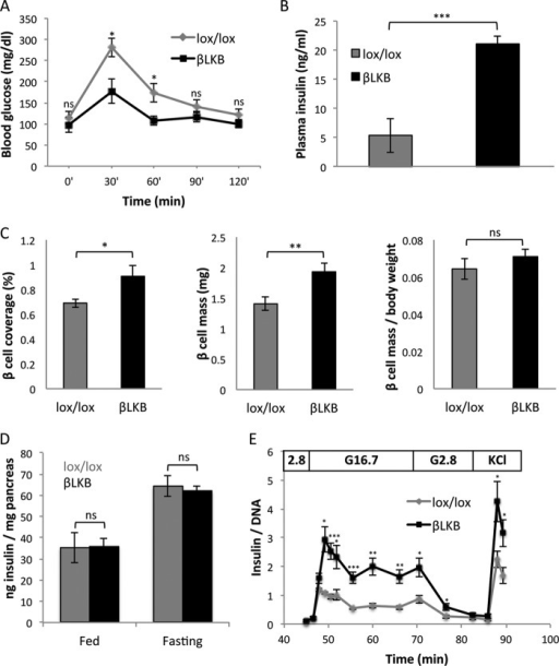 Increased insulin secretion despite normal insulin content and β cell mass after LKB1 loss.A, glucose tolerance test in old βLKB mice. Mice were injected with tamoxifen at 1 month of age, and assays were performed 16 months later. n = 4 or 5 per genotype. p value <0.05 by repeated measures analysis of variance. B, plasma insulin levels in old βLKB mice, 15 min after glucose injection. Error bars represent S.D. Mice were injected with tamoxifen at 1 month of age, and assay was performed 1 year later. n = 3 per genotype. C, β cell mass. Graphs represent the percentage of pancreas tissue area stained for insulin (left), the fraction of insulin-stained tissue multiplied by pancreas weight (total β cell mass in mg; center), and total β cell mass per body weight (right). Mice were 4 months old, 3 months after tamoxifen injection. n = 3 mice per group. D, insulin content in pancreata from fed and fasted lox/lox littermate controls and βLKB mice. Insulin content is presented relative to pancreas weight. βLKB mice do not differ in their pancreatic insulin content in either fed or fasted states. n = 4–7 mice per group. E, dynamic insulin secretion assay. Data represent the mean of data from 5 mice per group at age of 6–8 months. For each sample, measured insulin was normalized to total DNA. *, p < 0.05; **, p < 0.01; ***, p < 0.005; ns, p > 0.05.