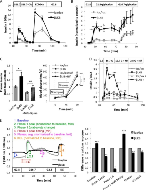 Insulin secretion in LKB1-deficient β cells is KATP-dependent.A, insulin levels during an islet perifusion assay. Switching medium from 2.8 to 16.7 mm glucose (G16.7) causes higher secretion in LKB1-deficient islets. Diazoxide (Dia) (100 μm) abolishes secretion in both control and mutant islets, and further addition of 30 mm KCl triggers a second peak of secretion. Data represent the mean of 2 groups of islets taken from different mice at age of 2.5 months. B, insulin secretion during islet perifusion with glyburide. Glyburide (1 μm) triggers dramatically more insulin secretion from LKB1-deficient islets in either low or high glucose. Data represent mean of data from three (control) and five (LKB1-deficient) mice. C, serum insulin and glucose levels after administration of nifedipine (Nif) to lox/lox and LKB1-deficient mice after an overnight fast. Nifedipine (10 mg/kg in 5% DMSO) was injected at time 0. Glucose was injected at 45 min. Glucose was measured at 0, 45, and 60 min, and insulin was measured at 60 min. Mice were 3–12 months old. n = 6–9 mice per group. D, glucose-stimulated insulin secretion from perifused islets treated with nifedipine. Dashed lines, nifedipine was added before high glucose. Solid lines, nifedipine was added 15 min after the addition of high glucose. In both cases no significant difference was observed between lox/lox and βLKB islets in the presence of nifedipine. Statistical significance is shown for the experiment where nifedipine was added after high glucose. E, left, representative plots of calcium influx after glucose stimulation of wild type and βLKB islets. Islets were perifused with KRB buffer containing 2.8 or 16.7 mm glucose or 30 mm KCl as indicated. Intracellular calcium is calculated by the ratio of emission at 340- and 380-nm wavelengths using Fura-2 dye. Each plot represents the average ratio of 8–20 islets taken from one mouse. Right, calculation of 6 parameters of calcium response in lox/lox and βLKB islets, based on the calcium plots. Mice were 6 months old, n = 3 per genotype. *, p < 0.05; **, p < 0.01; ***, p < 0.005; ns, p > 0.05.