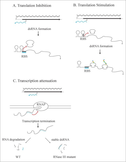 Mechanisms of dsRNA-mediated gene regulation. (A) dsRNA-mediated translation inhibition. An asRNA that overlaps the RBS of its cognate mRNA could prevent the ribosome from binding the RBS and inhibit translation; the dsRNA would then be degraded by RNase III, but the translational regulation would not be dependent on RNase III. (B) dsRNA-mediated translation stimulation. Translation could also be stimulated by dsRNA formation by releasing the RBS for ribosome binding. (C) dsRNA-mediated transcription attenuation. dsRNA formation could cause transcriptional attenuation and termination, also resulting in a dsRNA byproduct, which would be degraded by RNase III.