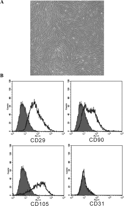Morphology and immunophenotype of hPDMSCs. (A) hPDMSCs adhered to plastic and exhibited spindle-like morphology. (B) Typical MSC markers on hPDMSCs were evaluated by flow cytometry. hPDMSCs were positive for CD29, CD90 and CD105, and negative for CD31. hPDMSCs, human placenta-derived MSCs; MSC, mesenchymal stem cell.
