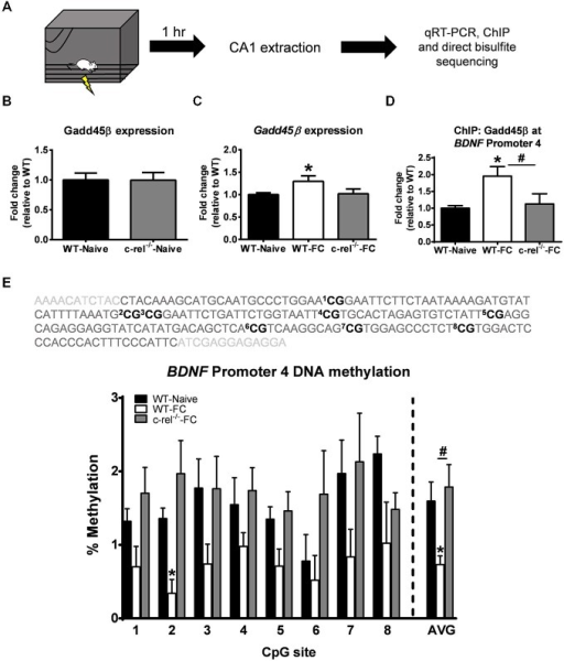 Knockout of c-rel prevents fear conditioning-induced changes in Gadd45β expression and BDNF DNA methylation in the hippocampus. (A) Wild-type (WT) or c-rel knockout (c-rel−/−) mice were fear conditioned and area CA1 collected 1 h later. (B) Basal expression of Gadd45β was not altered in c-rel−/− mice (n = 4–5 per group). (C)Gadd45β expression was increased in WT, but not c-rel−/−, mice following fear conditioning (n = 8 per group). (D) Chromatin immunoprecipitation revealed an increase in Gadd45β binding at BDNF Promoter 4 following fear conditioning, which was lost in c-rel−/− mice (n = 4 per group). (E) Bisulfite sequencing analysis of CpG sites in the mouse BDNF Promoter 4 region revealed a fear conditioning-induced decrease in BDNF Promoter 4 DNA methylation in area CA1 that was prevented in c-rel−/− mice (n = 3–4 per group). *p < 0.05 from WT. #p < 0.05 from WT-FC.