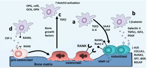 Mechanisms involved in the establishment of osteolytic bone metastases. (a) Effects of BCCs on bone resorption mediated by osteoblasts: molecules secreted by BCCs (TGF-β, IL-6, EGF, etc.) have been shown to activate osteoblasts to produce MMP-13 that degrades bone matrix and RANKL and RUNX-2, which stimulate osteoclasts to resorb bone; (b) direct effects of BCCs on osteoblasts differentiation: molecules secreted by BCCs (Galectin-3 and TGF-β1, IGF-2, PDGF) and BCC-expressed proteins (β-catenin) have been shown to regulate osteoblastic differentiation (affecting the expression of specific osteoblastic markers such as ALP, RUNX-2, etc.) through different pathways; (c) effects of molecules released by bone cells on BCCs: crosstalk between bone and cancer cells has been shown to promote an osteomimetic phenotype in BCCs (increasing the expression of typical bone markers such as osteocalcin OCN, osteopontin OPN, etc.) and TGF-β released by bone cells has been shown to activate Notch3 signaling and to promote BCCs growth; (d) direct effects of BCCs on osteoclastic differentiation: molecules secreted (CSF-1) or expressed (RANKL) by BCCs have been demonstrated to promote differentiation and activation of osteoclastic precursors towards mature osteoclasts. ↑: increased; ↓: decreased. Adapted by permission from [61] David, L.W.; Theresa, A.G. Cancer-associated muscle weakness: What's bone got to do with it. BoneKEy Rep. 2015.