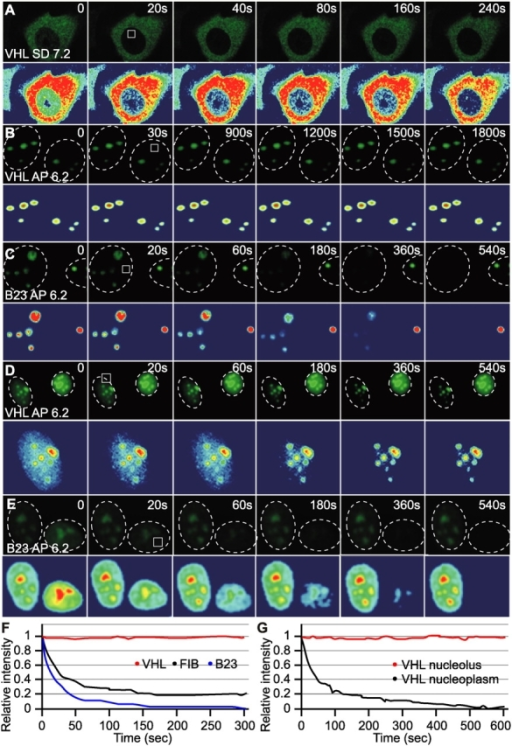 FLIP analysis reveals that nucleolar VHL does not traffic between the nucleolus and nucleoplasm in acidosis. MCF7 cells transiently transfected to express low (A–C, and F) or high (D, E, and G) levels of VHL-GFP or B23-GFP were incubated in hypoxia under SD or AP conditions. At time points matching the relocation of VHL-GFP (low levels set) to nucleoli, all cells were submitted to a FLIP analysis where nucleoplasmic regions (white squares) within specific nuclei (dashed circles) were repeatedly bleached. Cells were imaged between pulses. (F and G) Corresponding kinetics of loss of fluorescence.