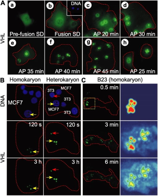 Long-term detention of VHL within the nucleolar space revealed by the inability of VHL to release from nucleoli in a polykaryon fusion assay. (A) MCF7 cells transiently expressing VHL-GFP were fused in a standard PEG fusion assay and incubated in SD media for 30 min (b). Inset shows Hoechst staining of DNA. Cells were replenished with AP media and transferred to hypoxia. VHL-GFP localization was monitored after reaching the pH 6.5 threshold (c–g). Nuclei within a polykaryonic cell were always synchronized in the rates of nucleolar appearance of VHL-GFP. This is not necessarily the case for monokaryonic cells in close proximity under AP conditions (h). (B) Unaltered MCF7 cells were cocultured under standard conditions with either MCF7 (homokaryon assay) or NIH 3T3 (heterokaryon assay) cells transfected to transiently express VHL-GFP. Cells were then transferred to hypoxia in AP media. After nucleolar localization of VHL-GFP, cells were fused and monitored by time-lapse microscopy. Hoechst staining of DNA was used to identify donor and acceptor cells. Arrows indicate the same position in the cell. (C) Unaltered MCF7 cells were cocultured under standard conditions with MCF7 cells transfected to transiently express B23-GFP. Cells were cultured in AP media, fused and monitored as in B. Pseudocolored zooms of area indicated by dashed square are shown.