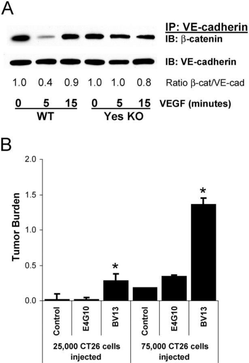 Disruption of cadherin-mediated adhesion enhances tumor cell extravasation. (A) Direct i.v. injection of VEGF induces rapid and transient dissociation of β-catenin from VE-cadherin in lung from wild-type, but not Yes-deficient mice, determined by immunoprecipitation and immunoblotting of mouse lung homogenates. Representative data from three experiments are shown. (B) Treating mice before tumor cell inoculation with VE-cadherin–disrupting antibody BV13 induces vascular permeability, facilitates CT26 tumor cell extravasation, and increases metastases. VE-cadherin antibody E4G10 which does not produce permeability has no impact on metastasis. Tumor burden represents increase in lung/heart weight ratio over control. * indicates P < 0.05; n = 8 each bar (A) and n = 4 each bar (B).