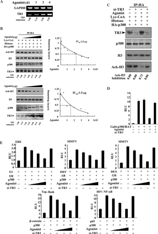 Inhibition of TR3 agonist on p300 HAT activity. (A) Agonist up-regulates TR3 mRNA expression levels. HeLa cells were treated with different concentrations of agonist as indicated for 5 h, and total RNA was then prepared. The levels of TR3 mRNA were determined by RT-PCR. Representatives of at least two independent experiments with similar results are shown. The level of TR3 mRNA induced by agonist was determined by using densitometry. (B) Effect of TR3 agonist on p300 HAT activity. 293T cells transfected with HA-p300 (upper panel) or HeLa cells (lower panel) were treated with different concentrations of agonist (1–4 µg) as indicated for 5 h, then the p300 HAT activity was determined as described in Figure 3A. The expression levels of HA-p300, endogenous TR3 and histone H3 were determined by western blotting with anti-HA, -TR3 and -histone H3 antibody, respectively. The level of TR3 protein induced by agonist was determined by using densitometry. Right panels indicated IC50 values that were calculated by determining the concentration of agonist needed to promote 50% inhibition of agonist activity. (C) Effect of agonist on p300 HAT activity is attenuated by siRNA-TR3. siRNA-TR3 with p300 were transfected into 293T cells. Transfected cells were treated with agonist (4 µg) for 5 h. The HAT activity was determined as described in Figure 3A. (D) Effect of agonist on transcription induced by p300 HAT. Gal4-p300/HAT and a luciferase reporter gene pGAL4, with or without siRNA-TR3, was cotransfected into 293T cells. Transfected cells were treated with agonist (4 µg) for 5 h. Reporter gene activity was determined as described in Figure 1D. The bars represent the average ± mean from three independent experiments. (E) Effects of agonist and siRNA-TR3 on p300-induced transcriptional activity. p300 with different transcription factors and reporter genes was transfected into 293T cells, and cells were treated with agonist at different concentration (1, 2 and 5 µM). The transcriptional activity was determined as described in Figure 1D. In addition, siRNA-TR3 was introduced into cells to abolish agonist function as required. (F) TR3 agonist inhibits p300 and AR-mediated mitogenic activity. Different expression vectors, including HA-p300, GFP-AR and siRNA-TR3, were transfected into breast cancer MCF-7 cells as indicated, and the transfected cells were treated with or without agonist (4 µg) for 5 h. Cells were maintained in BrdU containing medium for 2 h and then identified by flow cytometry.