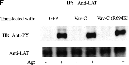 Vav-C inhibits Vav phosphorylation and association with but not phosphorylation of Syk, SLP-76, and LAT. (A) Vav-C (SH3-SH2-SH3) is membrane localized upon Fc∈RI engagement. RBL-2H3 cells were transfected with Vav-C-GFP or an SH2 domain–mutated Vav-C (R694K)-GFP. Cells were stimulated with 30 ng/ml of Ag for 3 min (+Ag) or left untreated (−Ag) and examined by confocal laser microscopy. (B) Expression levels of GFP alone, Vav-C, or Vav-C (R694K) tagged with GFP. Cells transfected as in A were lysed, and 5 × 104 cell equivalents per lane of protein were resolved by SDS-PAGE and transferred for immunoblotting (IB). For immunoprecipitation experiments, 1.0–2.0 × 107 cells were used. Expression levels were determined by probing with an antibody to GFP (shown) or in some cases with a mouse mAb to Vav. (C) Vav-C inhibits phosphorylation of Vav and its association with Syk but not Syk phosphorylation. RBL-2H3 cells transfected with Vav, Vav-C, and Syk or Vav, Vav-C (R694K), and Syk were stimulated as in the legend to  Fig. 2 D, lysed, and incubated with antibody to Syk. Recovered proteins were immunoblotted (IB) with antiphosphotyrosine (Anti-PY), then stripped and reprobed sequentially with anti-Vav and anti-Syk. (D) Nontransfected RBL-2H3 cells were stimulated (Ag+) or not (Ag−) as in the legend to  Fig. 2 D. Cells were lysed as described in Materials and Methods, and LAT or Vav was immunoprecipitated. Proteins were resolved and immunoblotted with antibody to LAT, SLP-76, and Vav. (E) Vav-C inhibits the association of Vav and LAT with SLP-76 without affecting the SLP-76 phosphorylation. RBL-2H3 cells were transfected with Vav and GFP or Vav and Vav-C-GFP. Cells were stimulated (Ag+) or not (Ag−) as in the legend to  Fig. 2 D, then lysed and incubated with antibody to SLP-76. Immunoblots were first probed with antiphosphotyrosine (Anti-PY), then stripped and reprobed with anti–SLP-76, anti-Vav, anti-LAT, and anti-Grb2. (F) Vav-C has no effect on the tyrosine phosphorylation of LAT. Experiments were done as in E, but cell lysates were incubated with antibody to LAT (Anti-LAT). Immunoblots were probed with antiphosphotyrosine and subsequently with anti-LAT.