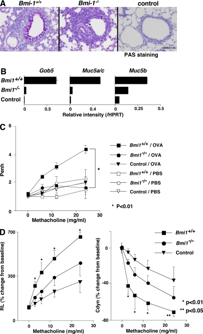 Decreased mucus hyperproduction and airway hyperresponsiveness in Bmi1−/− memory Th2 mice. Bmi1+/+ and Bmi1−/− memory Th2 mice were challenged by inhalation with OVA as in Fig. 5. (A) 1 d after the last OVA inhalation (day 11), the lungs were fixed and stained with periodic-acid-Schiff (PAS). A representative staining pattern is shown. The control represents BALB/c nu/nu mice without Th2 cell transfer. Bars, 100 μm. (B) On day 12, total RNA was prepared from the lung, and the expression of Gob5, Muc5a/c, and Muc 5b (molecular makers for Goblet cell hyperplasia and mucus production) was determined by a quantitative PCR analysis. The relative intensity (/HPRT; mean of three samples) is shown with standard deviations. (C) OVA-induced airway hyperresponsiveness in Bmi1−/− memory Th2 mice. On day 11, the airway hyperresponsiveness in response to increasing doses of methacholine was measured in a whole-body plethysmograph. The mean values (n = 5) are shown with standard deviations. PBS, PBS-inhaled control; OVA, OVA-inhaled. *, P < 0.01. The experiments were performed twice with similar results. (D) On day 11, changes in the RL (left) and the dynamic compliance (Cdyn; right) were assessed. Mean values (six mice per group) are shown with standard deviations. *, P < 0.01; **, P < 0.05.