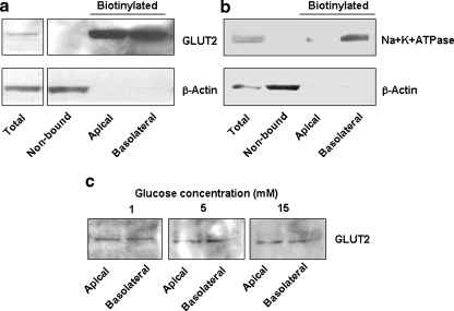 Western blot analysis of total protein and non-bound fraction (30 μg) or biotinylated apical and basolateral proteins isolated from 1 mg of total protein extracted from polarised H441 cells. a Immunostained proteins corresponding to GLUT2 (∼60 kDa) were present in the total, biotinylated apical and basolateral protein fractions. b Immunostained proteins corresponding to the α1 subunit of Na+K+ATPase (∼113 kDa) were present predominantly in the total protein and basolateral fractions. a and b Immunostained products corresponding to β-actin (∼42 kDa) were present in the total protein and non-bound fractions. c Effect of 1, 5 and 15 mM glucose on GLUT2 transporter abundance in biotinylated apical and basolateral proteins from polarised H441 cells