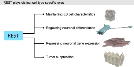 A Schematic Summary of Some Cell Type–Specific Roles for RESTRecent reports show a novel role for REST in maintaining ESC phenotype by being a close part of the core transcriptional network of Oct4/Sox2/Nanog in ESCs (see text). REST has previously been suggested to repress neuronal differentiation in NSCs and medulloblastoma cells, in addition to its well-established role in repressing neuronal genes in non-neural cells. REST has also been shown to act as a tumor suppressor by repressing epithelial cell transformation, a role that could be linked to the regulation of cell adhesion genes (see text).