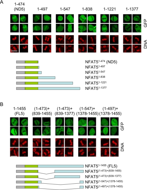 Effect of different regions of the CTD on the exclusion of NFAT5a from mitotic chromatin.Representative confocal microscopy images of mitotic cells in asynchronous cultures of HEK293 cells expressing the indicated GFP-tagged NFAT5a constructs and cultured in isotonic conditions (310 mOsm/kg). Scale bar is 20 µm. The results shown are representative of three independent experiments.