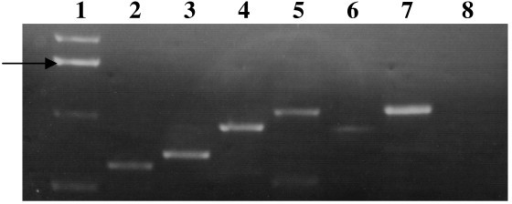 PCR amplification for cDNA of sialometabolism genes from strain Rd showing co-transcripts for adjacent gene pairs. cDNA was made after bacteria were grown in BHI in the presence of sialic acid. RT-PCR products shown are in lane 2, nagA/nagB; lane 3, nagB/nanA; lane 4, nanA/siaR; lane 5, siaR/nanK; lane 6, nanK/nanE; lane 7, siaP/siaQM; lane 8, siaQM/HI0148. Lane 1 shows the 1 kb DNA ladder marker with the 1.6 kb band marked by an arrow.