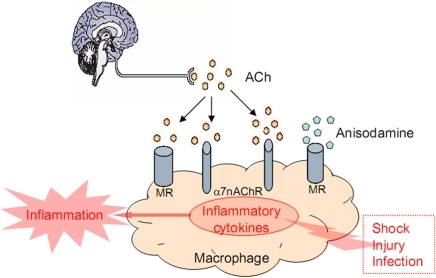 Action mode of anisodamine in cholinergic anti-inflammatory pathway.