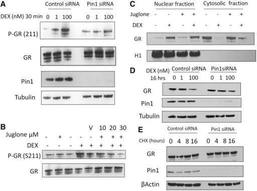 The effect of Pin1 inhibition on GR phosphorylation, nuclear translocation and stability. (A) A549 cells were transfected with Pin1 or control siRNA for 48 h. Cells were then treated with 1 or 100 nM for 30 min. Immunoblots were probed for phospho- GR (S211), GR, Pin1 and tubulin. (B) Cells were pre-treated with juglone for 30 min before a 30-min treatment of 100 nM DEX. (C) A549 cells were pre-treated with juglone (30 µM) for 30 min before a 30-min treatment with 100 nM DEX. Cytosol and nuclear fractions were prepared, and subsequent immunoblots were probed for GR and Histone H1. (D) A549 cells were transfected with Pin1 or control siRNA for 48 h before being stimulated with DEX (100 nM) or 4 or 8 h, whole-cell extracts were probed for GR and Pin1. (E) A549 cells were transfected with Pin1 siRNA as described in (D), cycloheximide (50 µg/ml) was added to the cells for 4, 8 and 16 h, subsequent immunoblots were probed for GR, Pin1 and β-actin.